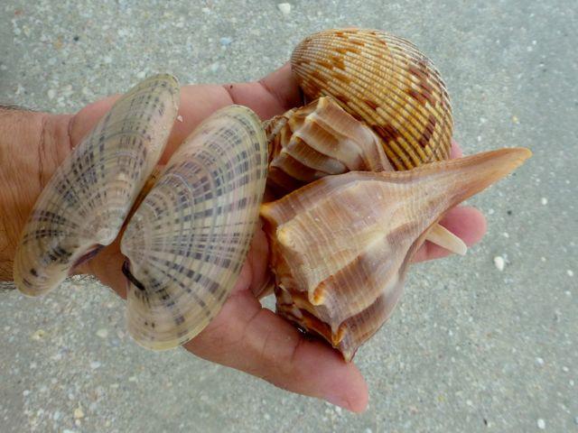 Buckets Of Seashells On Sanibel From Tropical Storm Debby