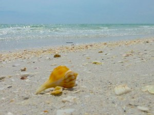 whelk on cayo costa