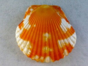 Captiva creamsicle scallop