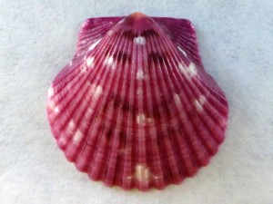 I'm plum happy scallop