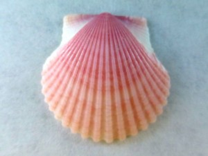 Island Time scallop