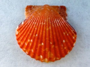 Sanibel Sunburn Scallop