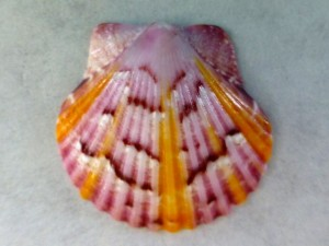 Sanibel sky scallop