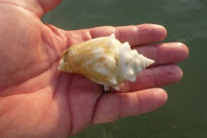albino fighting conch
