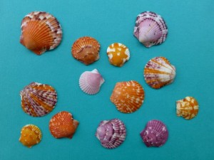 calico scallop sea shells