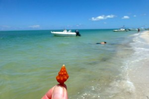 cayo costa seashell