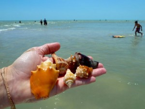 conchs whelks sanibel