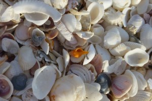 horse conch sanibel seashells
