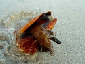 live fighting conchs