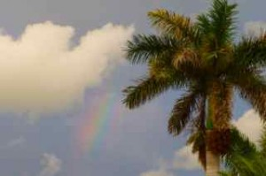 rainbow royal palm