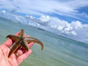 sanibel lined starfish
