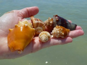 sanibel seashells handful