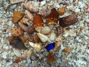 shells found snorkeling