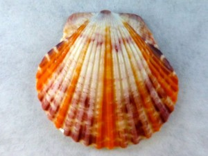 sunbeam scallop
