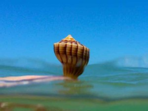 water whelk sanibel