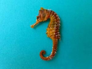 Golden Sanibel Seahorse aqua