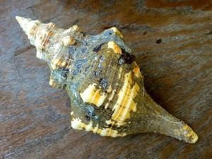 horse conch periostracum