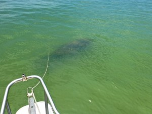 manatee by boat