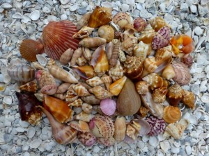 mid August Sanibel shells