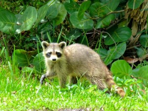 sanibel raccoon
