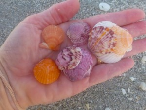 scallop shell colors