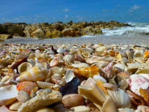 seashells of captiva southwest florida