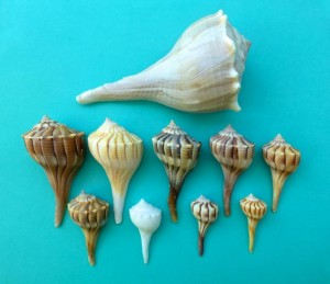 lightning whelk colors