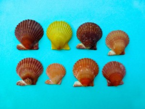 rough scallop colors