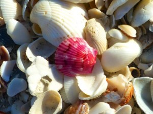 saniberry scallop