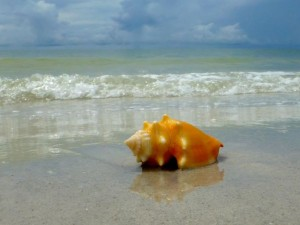 yellow fighthing conch