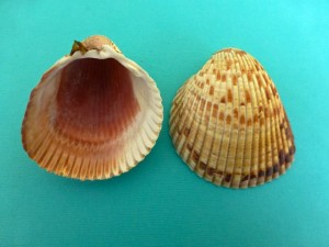 Atlantic Giant Cockles