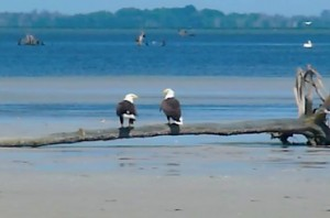 Bald Eagle Love pair North Captiva Florida