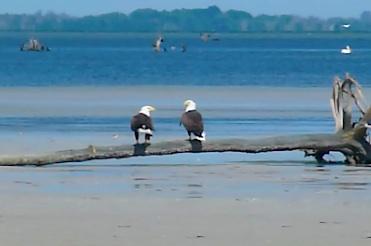 Bald Eagle Love Story