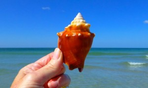 Fighting conch seashell captiva