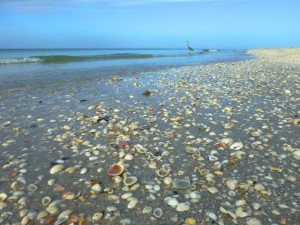 Sanibel seashell beach bivalves