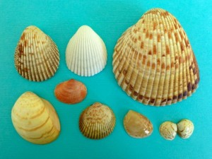South west Florida Sanibel Cockle shells