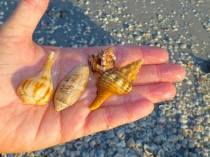 judy seashells sanibel