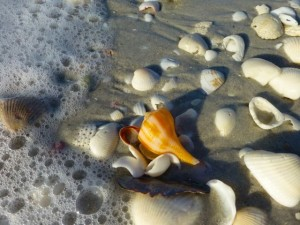 pear whelk gscp sanibel florida