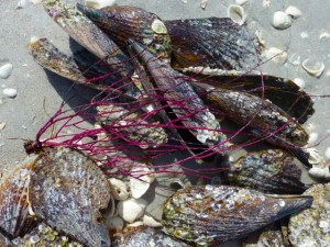 sea whip pen shells sanibel