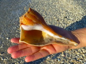 whelk gulf side city park sanibel