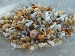 Dena Sanibel miniature shells