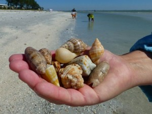collect sea shells Sanibel