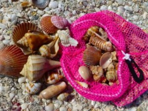 collection of sanibel seashells