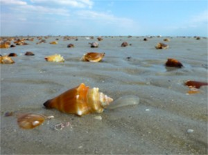 conch shells sanibel beach