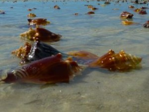 conch shells sanibel florida  tide
