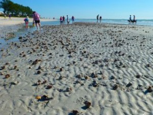 liVe fighting conch shells mass