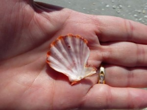 lions paw seashell cshell sanibel