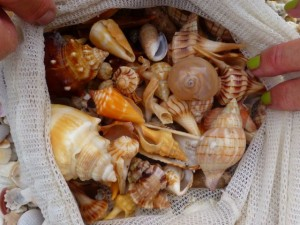 types of seashells sanibel