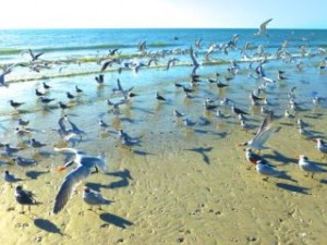 beach birds sanibel