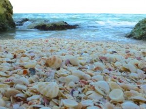 florida seashells sanibel